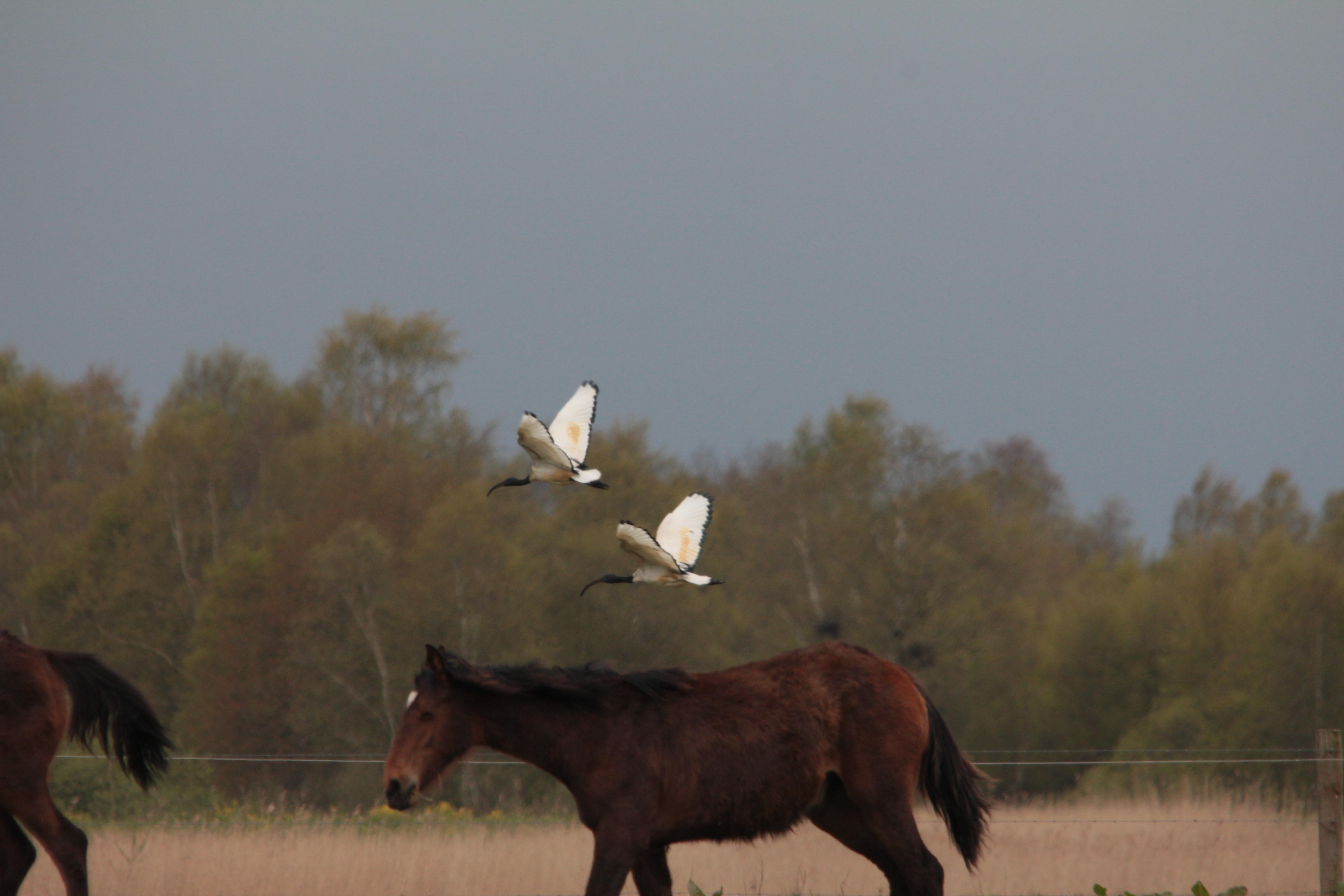 Heilige_Ibis_1.jpg